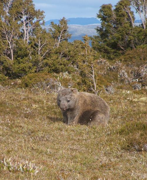 bh-wombat-b